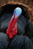 Portrait of Wild Turkey, Meleagris gallopavo, blue and red head Royalty Free Stock Image