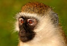 Portrait of wild Vervet monkey. Vervet monkey portrait with green background royalty free stock photo