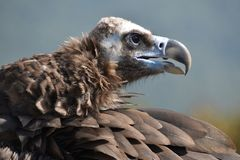 Portrait of vulture in profile royalty free stock photo