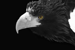 Portrait of a wild white-headed eagle. In black and white format with bright yellow eyes on a black background close-up stock images
