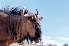 Portrait of A wild Wildebeest Gnu Stock Images