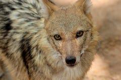 Portrait of wild wolf. Portrait of wild Stock Photo