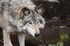 Portrait of wild wolf