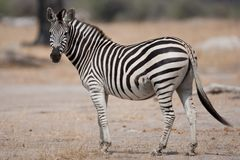 Portrait of a wild Zebra in southern Africa. royalty free stock photography
