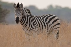 Portrait of a wild Zebra in southern Africa. royalty free stock photo