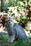 Portrait of wildcat Felis silvestris Stock Photos