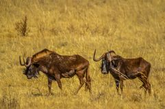 Portrait of a wildebeest, also called gnus, are antelopes in the genus Connochaetes stock photography