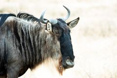 Wildebeest Head, closeup of wildebeest in savannah of Serengeti, Tanzania. Portrait of a wildebeest - gnu in Serengeti of Tanzania stock photo