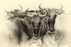 Portrait of a wildebeest, National park of Kenya. Vintage effect Stock Images