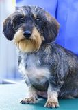 Portrait Wirehaired Daschund puppy dog cell phone wallpaper stock photos