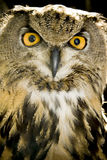 Portrait of wise owl. With mystic yellow eyes Stock Image