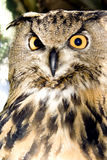 Portrait of wise owl Stock Images
