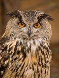 Portrait of wise owl. With beautiful eyes Stock Photography