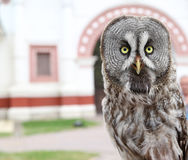Portrait of wise owl on a blurred. Portrait of wise owl on a blurred background with arch Royalty Free Stock Photography
