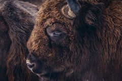 Wisent in Poland. Portrait of wisent in Bialowieza Forest National Park in Poland Royalty Free Stock Photography