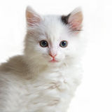 Portrait of withe cat Royalty Free Stock Image