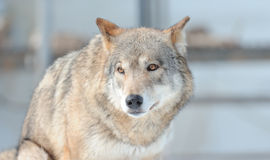 Portrait of the wolf Royalty Free Stock Image