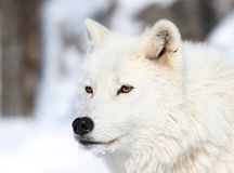 Portrait of wolf Royalty Free Stock Photo