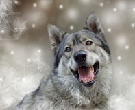 Portrait of wolf. Royalty Free Stock Photo