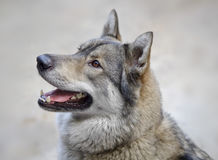 Portrait of wolf. Royalty Free Stock Photography