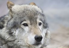 Portrait of the wolf Royalty Free Stock Photography