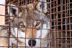 Portrait of wolf behind bars in cage stock image
