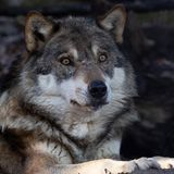 Portrait of a wolf stock photos