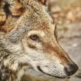 Portrait of The Wolf Royalty Free Stock Photo