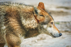 Portrait of Wolf Royalty Free Stock Images