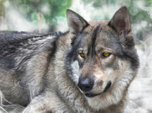 Portrait of wolf. Stock Images