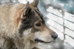 Portrait of wolf. Royalty Free Stock Image