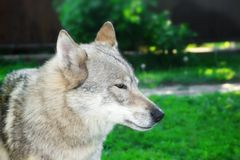 Portrait of wolf-dog with brown eyes Royalty Free Stock Images