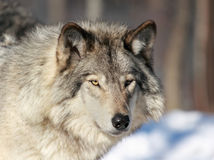 Portrait of wolf. Gray wolf in nature during winter Stock Image