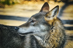 Portrait of Wolf Stock Images