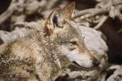 Portrait of Wolf Royalty Free Stock Photography