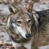 Portrait of Wolf Stock Photography