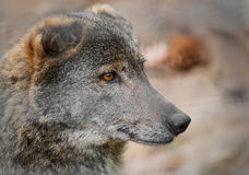 Portrait of a wolf Royalty Free Stock Photo