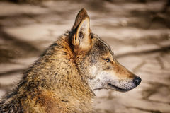 Portrait of Wolf Stock Image