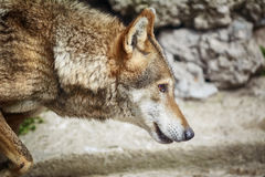 Portrait of Wolf Royalty Free Stock Image