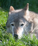 Portrait of wolf lying in the grass Royalty Free Stock Photography