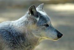Portrait wolf of Mackenzie Royalty Free Stock Photo
