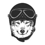 Portrait of Wolf with Vintage Helmet. Royalty Free Stock Photography