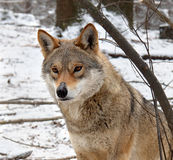 Portrait of a wolf in the winter Stock Photos