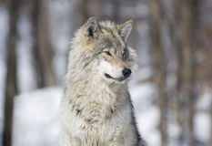 Portrait of wolf during winter Royalty Free Stock Image
