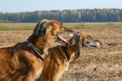 Portrait of wolfhound dogs Royalty Free Stock Photography