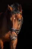 Portrait of wonderful bay sportive stallion royalty free stock image