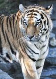 Portrait of a wonderful bengal tiger. In the wild royalty free stock image