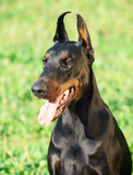 Portrait of wonderful black doberman Royalty Free Stock Photos