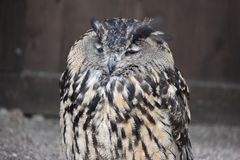 Portrait of a wonderful brown majestic Eurasian Eagle Owl. Portrait of a wonderful light brown majestic Eurasian Eagle Owl stock image