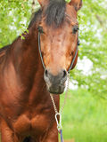 Portrait of wonderful Trakehner stallion. Cloudy day Royalty Free Stock Photography
